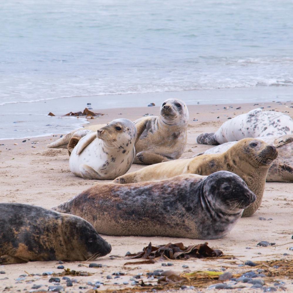 Nordsee-Urlaub-für-Anfänger-Küstenglück-Seehunde